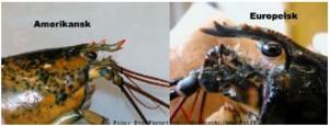 Hummer jämförelse amerikansk hummer och europeisk hummer