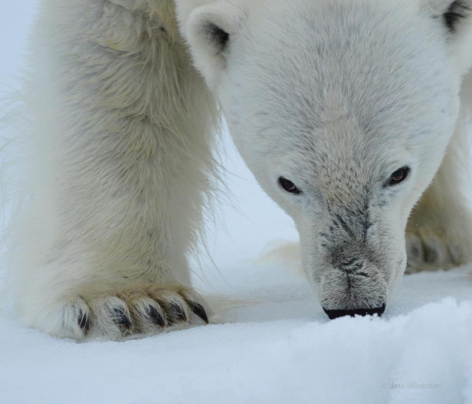 Isbjörn Svalbard. Copyright Jens Wikström
