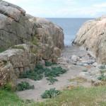 Strandkål Långeskär Fjällbacka skärgård