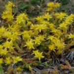 Blommor Stora Måkholmen Fjällbacka skärgård