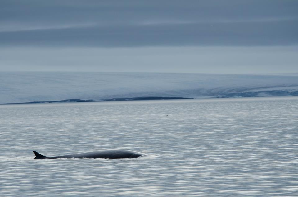 Blåval Svalbard Foto: Jens Wikström